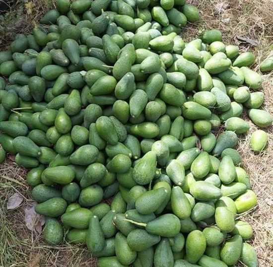 Türkiye-Alanya üretimi avokado 200 gram üzeri resmi